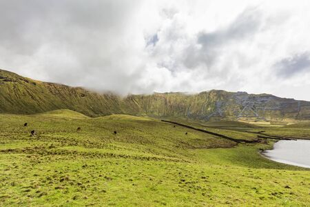 Cows grazing along a lake in the center of the Corvo caldera on the island of Corvo in the Azores, Portugal.