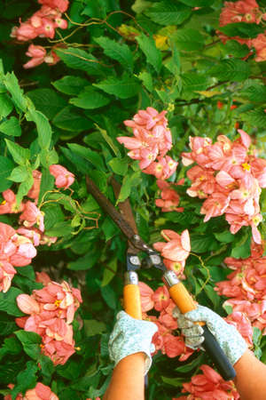 clippers: Gloved hands using clippers on bushes