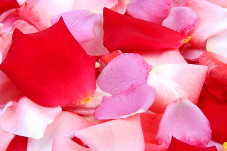Pink, purple and red rose petals on a white background photo