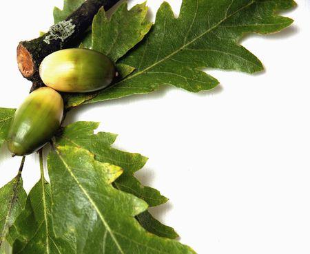 Oak leaves and acorns on white background photo