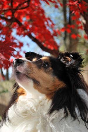 sheltie: Sheltie Dog with Fall Background
