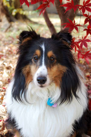 herder: Frontal View of Sheltie Dog with Fall Background