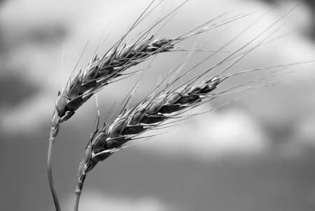 Imagen de blanco y negro de dos Strands de trigo Foto de archivo - 8287382