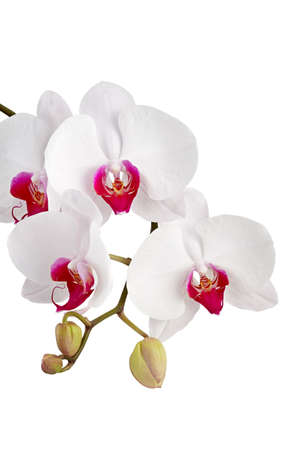 White orchid  Orchis  on white background Stock Photo