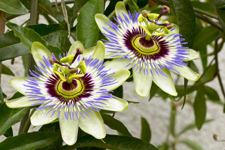 dff image: Passion flower  Passiflora  with raindrops in the garden  Summer flowers  Adobe RGB  DFF image Stock Photo