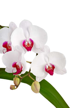 White orchid on white background Stock Photo - 16431242