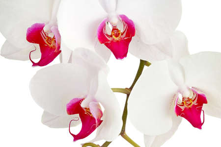 dff image: White orchid on white background