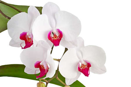 White orchid  on white background  Stock Photo - 16431243