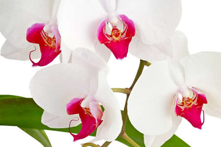 dff image: White orchid  on white background  Stock Photo
