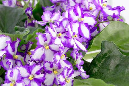 dff image: African violet, Saintpaulia ionantha, Saintpaulia