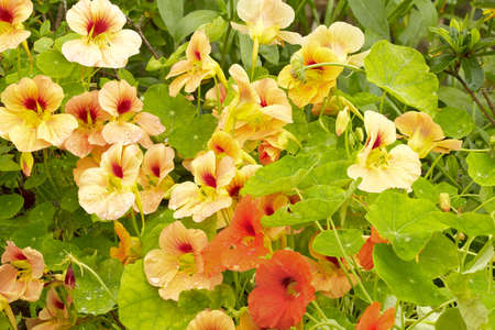 Nasturtium  Tropaeolum  with raindrops in the garden  Stock Photo