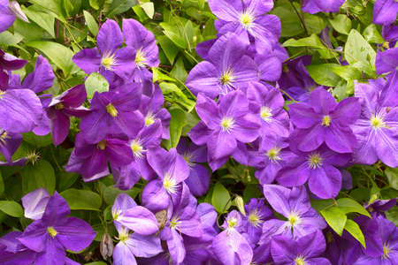 Violet Clematis flowers with raindrops in the garden