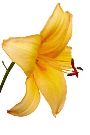 Flower of yellow Daylilies  Hemerocallis   Isolated on white   Stock Photo