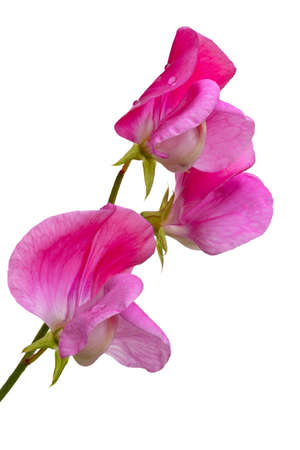 The pink Lathyrus. Inflorescence of Lathyrus odoratus with raindrops. Sweet pea. Isolated on white. Stock Photo - 16431540