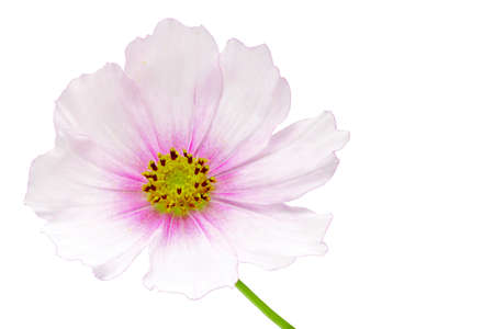 Cosmos flower on white background. Stock Photo - 16431520