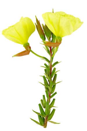 Evening primrose (Oenothera ) on white background. Stock Photo - 16431535