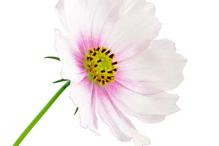 Cosmos flower on white background.  Stock Photo - 16431536
