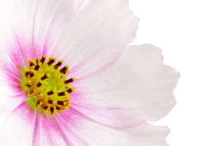 dff image: Cosmos flower on white background.