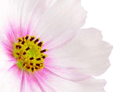 Cosmos flower on white background.