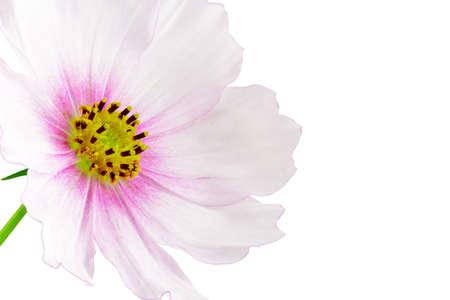 dff image: Cosmos flower on white background. Stock Photo