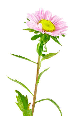 Pink flower Aster  Inflorescence of Aster  Sweet pea  Isolated on white    Stock Photo