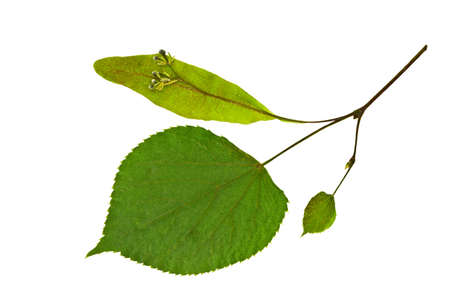 Dry spring leaf of linden  Tilia   Isolated on white