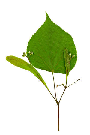 Dry spring leaf of linden  Tilia   Isolated on white Stock Photo - 16581823