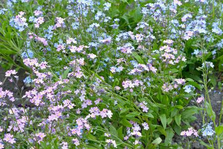 Blått och rosa Förgätmigej inte Myosotis blommor i trädgården Vårblommor i trädgården