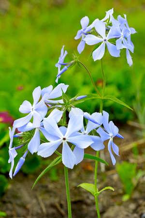 Blue phlox subulata in the garden  Spring flowers   Stock Photo