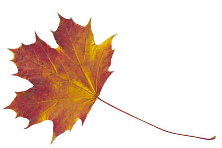 Dry autumn leaf of maple Isolated on white   Stock Photo