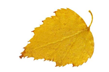Dry autumn leaf of birch  Betula   Isolated on white    Stock Photo