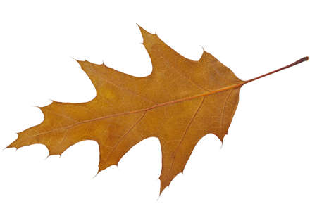 Dry autumn leaf of Oak  Quercus coccinea   Isolated on white