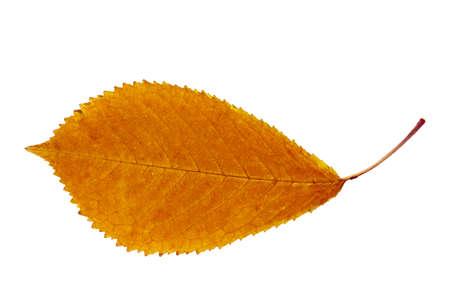 Dry autumn leaf of Cherry Tree  Cerasus avium   Isolated on white   Stock Photo