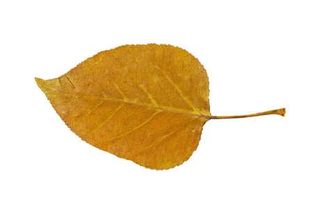 Dry autumn leaf of Poplar  Populus   Isolated on white
