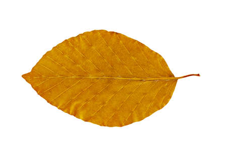Dry autumn leaf of beech (Fagus)  Isolated on white.