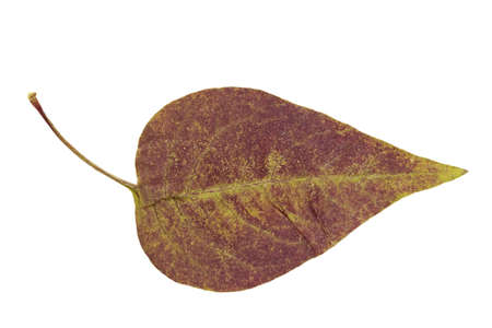 Dry autumn leaf of lilac (Syringa) . Isolated on white. Isolated with clipping path. Stock Photo