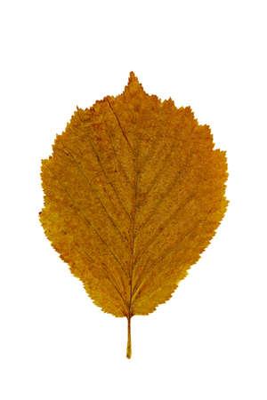 albero nocciola: Foglia d'autunno secco di Nocciolo (Corylus avellana), isolato su bianco. Archivio Fotografico
