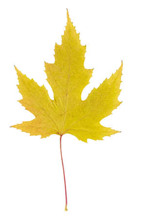 Dry autumn leaf of maple )Acer). Isolated on white. Isolated with clipping path. Stock Photo