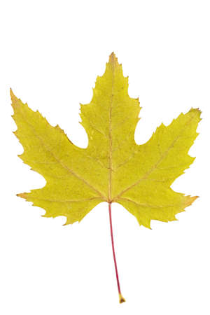 Dry autumn leaf of maple. Isolated on white.