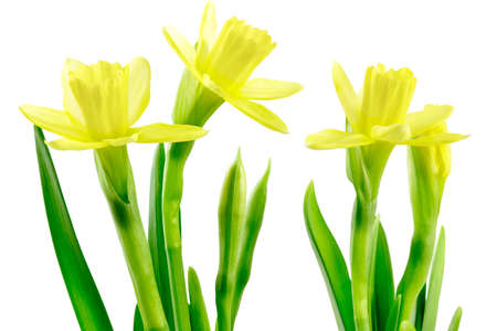 Group of Daffodils (Narcissus jonquilla). Isolated on white.  Stock Photo