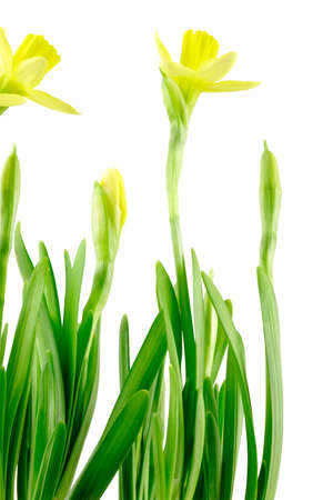 Group of Daffodils (Narcissus jonquilla). Isolated on white. Isolated with clipping path.