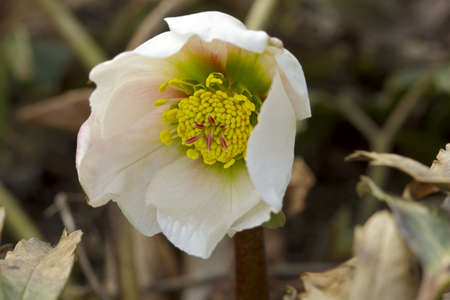 Hellebore Flowers  Helleborus  , the so-called  Christmas rose