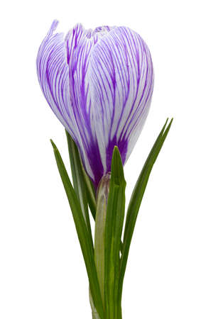 Close up of crocus flower  Isolated on white Stock Photo - 16689777