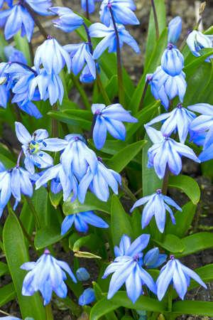 Scilla, blue flower