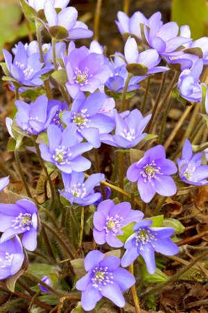 Hepatica nobilis, Hepatica, blue flower, spring flower  Adobe RGB  DFF image Stock Photo