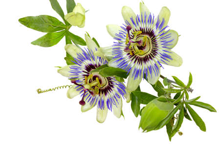pasion: Flor de la pasión Passiflora aislado en el fondo blanco aislado con trazado de recorte Summer flower Adobe RGB DFF imagen