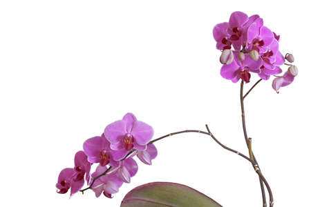 dff image: Violet orchid (Orchis) on white background. Isolated with clipping path. Adobe RGB. DFF image
