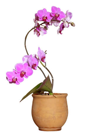 Violet orchid (Orchis) in the ceramic pot on white background.