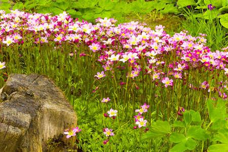 dff image: Saxifraga paniculata  Saxifraga aizoon  in the garden  DFF image  Adobe RGB Stock Photo