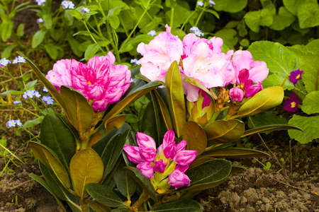 dff image: Pink rhododendron Stock Photo